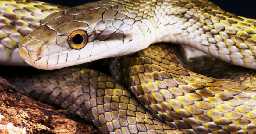 The Venom of this Snake can Stop Corona from Growing in the Body